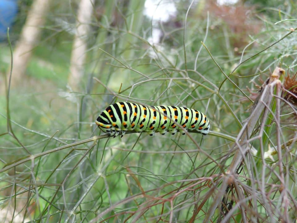 grüne Raupe mit orangen Punkten und schwarzen Streifen