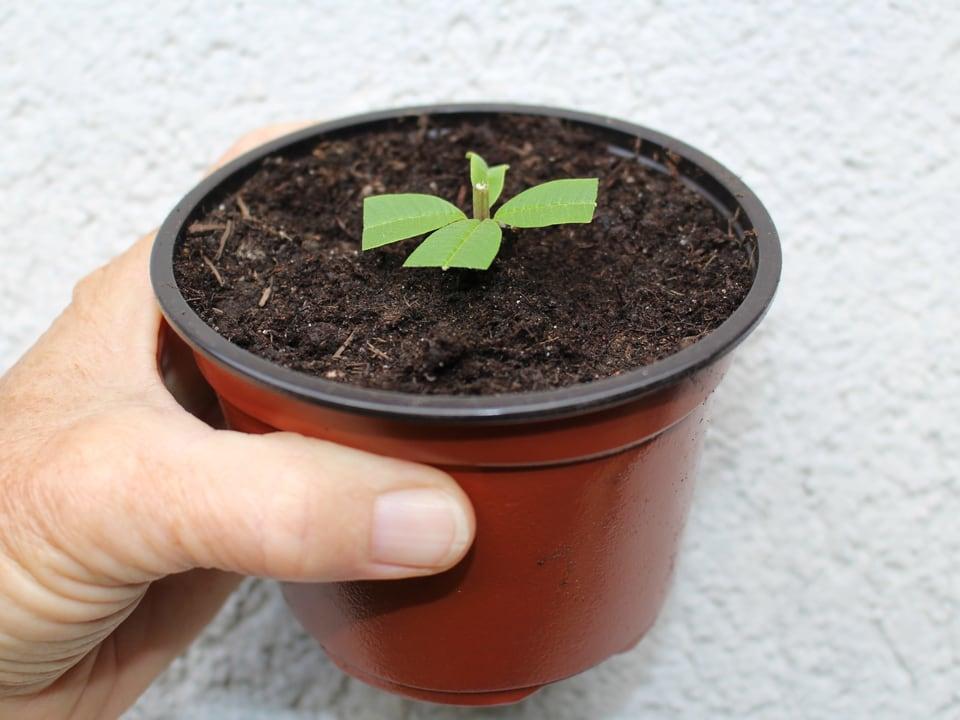 Ein Trieb einer Pflanze wurde in Erde gesteckt.