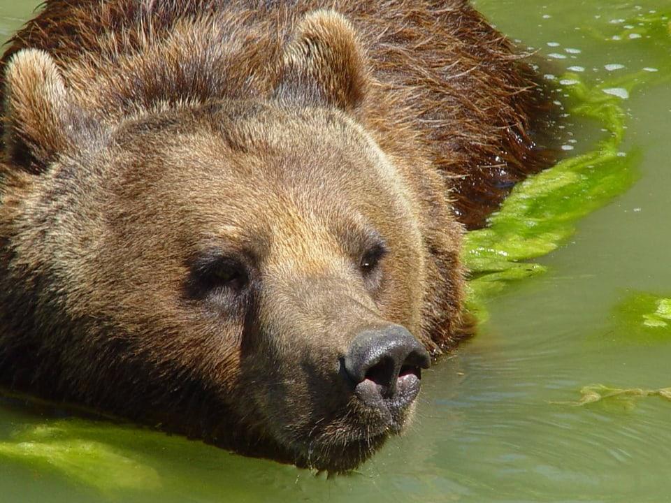Schafliebhaber: Der Bär deckte Mängel in der Schafhaltung auf.