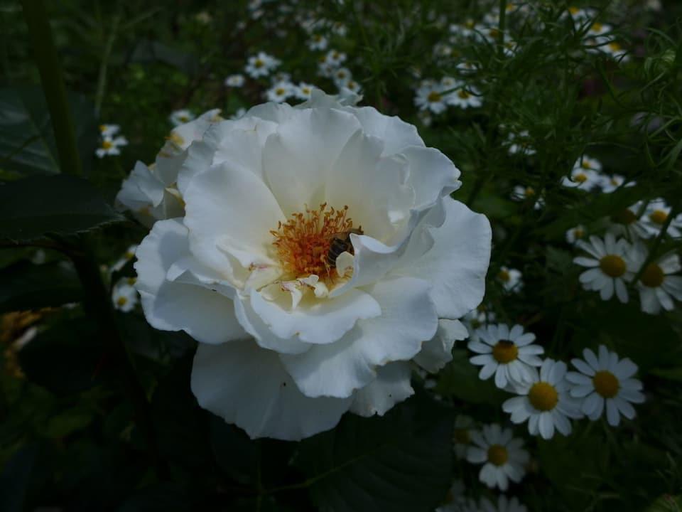 Grosse weissfarbene Blüte einer Rose umrahmt von Margeriten.