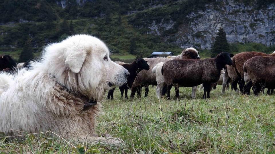 Herdenschutzhund liegt vor einer Schafherde und wacht über die Tiere
