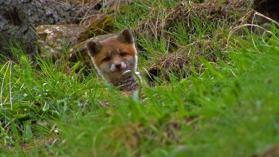 Verspielter Jäger: Als Jungtiere sind Füchse allerliebst – und als Erwachsene spielen sie im Nationalpark als Jäger von kleineren Tieren und als Aasfresser eine wichtige Rolle. (Jungfuchs schaut aus Bau)