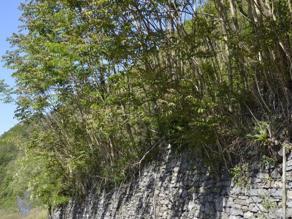 Vorhang von jungen Götterbäumen auf einer Tessiner Steinmauer.