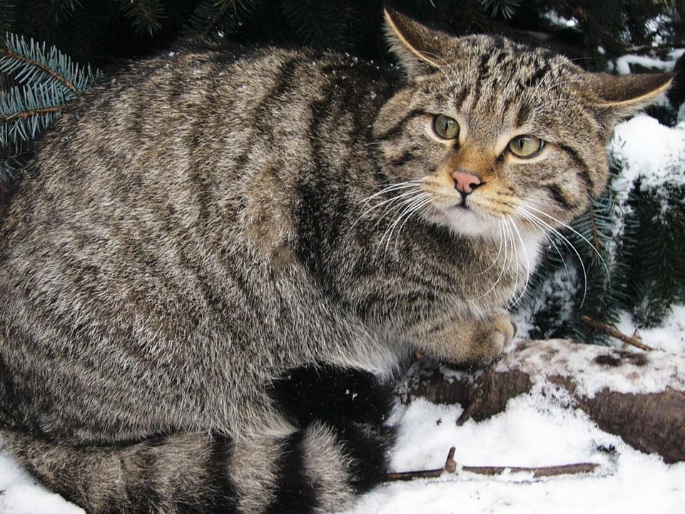 Menschenscheu: Die Wildkatze ist ständig wachsam und geht dem Menschen wo immer möglich aus dem Weg.