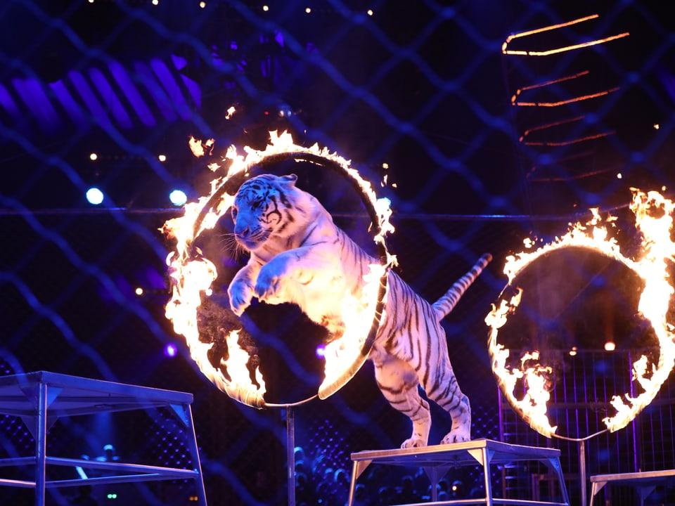 Tiger springt durch einen Flammenreifen.