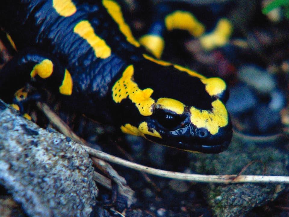 Warnsignale: Die schwarz-gelbe Färbung soll Feinde vor Gift in seiner Haut warnen. Doch der Feuersalamander ist selbst durch zahlreiche Giftstoffe in der Umwelt bedroht. (Feuersalamander schaut in Kamera)