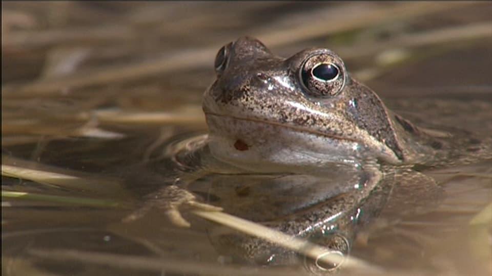 Sei ein Frosch! Mit dem Grasfrosch auf Du und Du