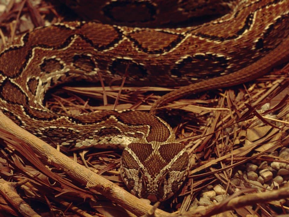 Im Unterholz dank ihrer Musterung kaum zu erkennende Schlange, die dem Fotografen direkt in die Linse linst.