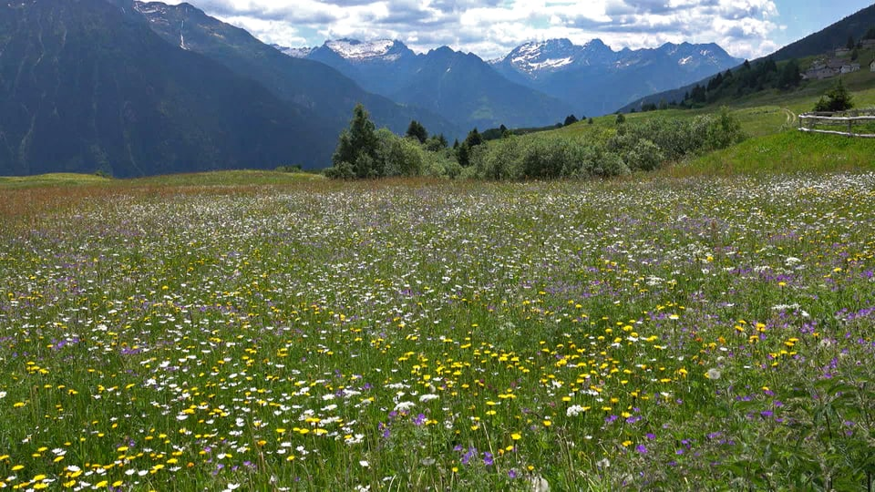 Blumenwiese voll mit verschiedenen Blumen.