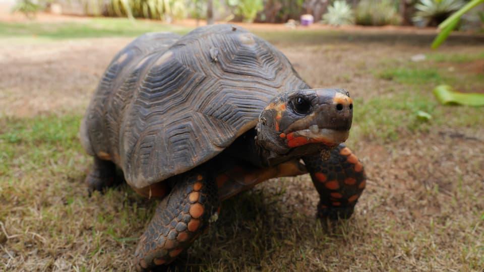 Drei Schildkröten wohnen im Garten von Teres und Claudio...