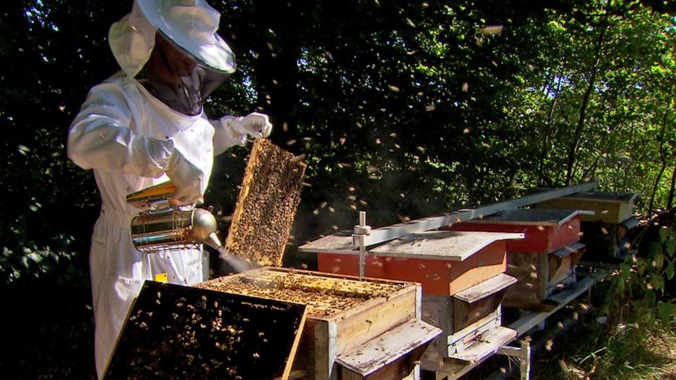 Hoffen und Bangen: Auch in der Schweiz sind die Imker immer wieder mit grossen Verlusten konfrontiert. Parasiten, Nahrungsmangel und Pestizide, vor allem wenn sie gemeinsam wirken, kommen als Ursache in Frage. (Imker bei Honigernte mit Bienenwaben)