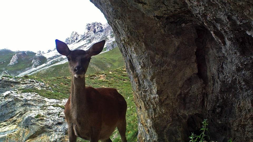 Kühl und unheimlich – die Hirschkuh sucht in der Höhle Schutz vor der Tageshitze.(Hirschkuh schaut in Höhle)