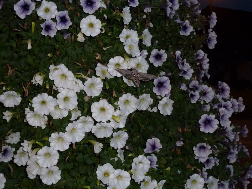 Weiss und lila blühende Ligusterschwärmer.
