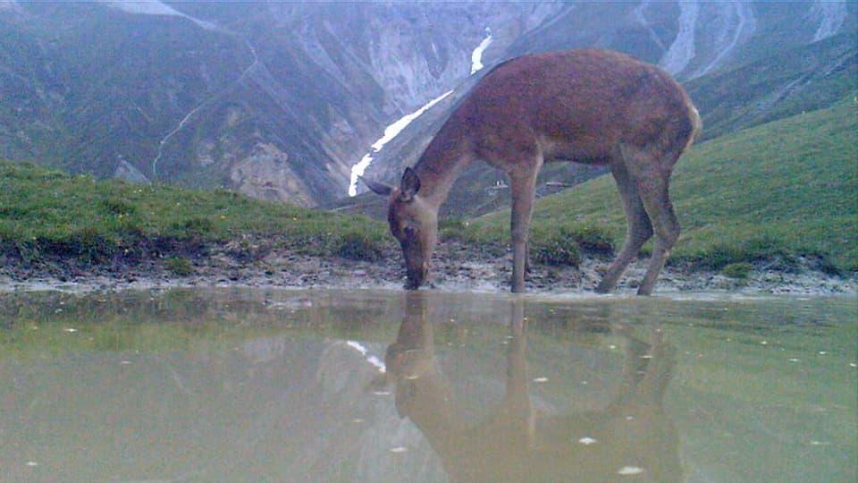 Hirschkalb schaut ins Wasser.