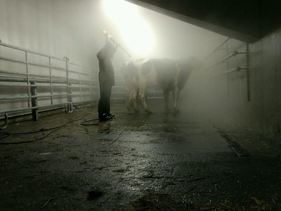 Eine Kuh wird mit Wasser gewaschen.