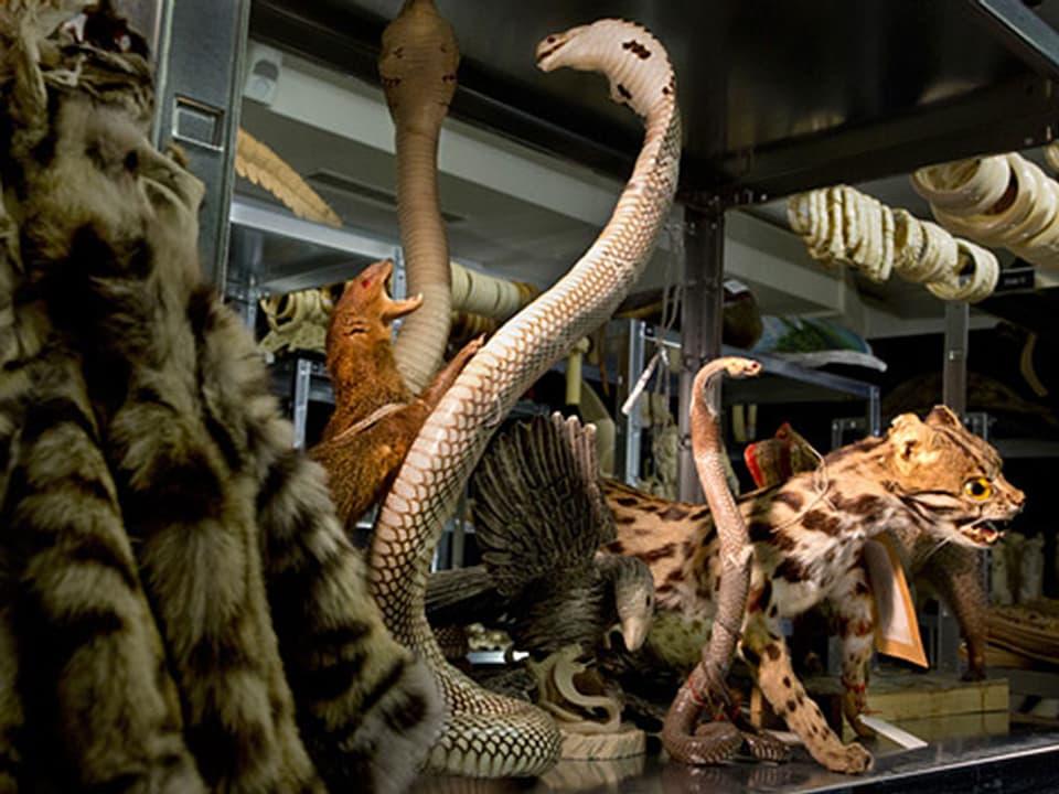 Verschiedene Schlangen und Felle im Museum.