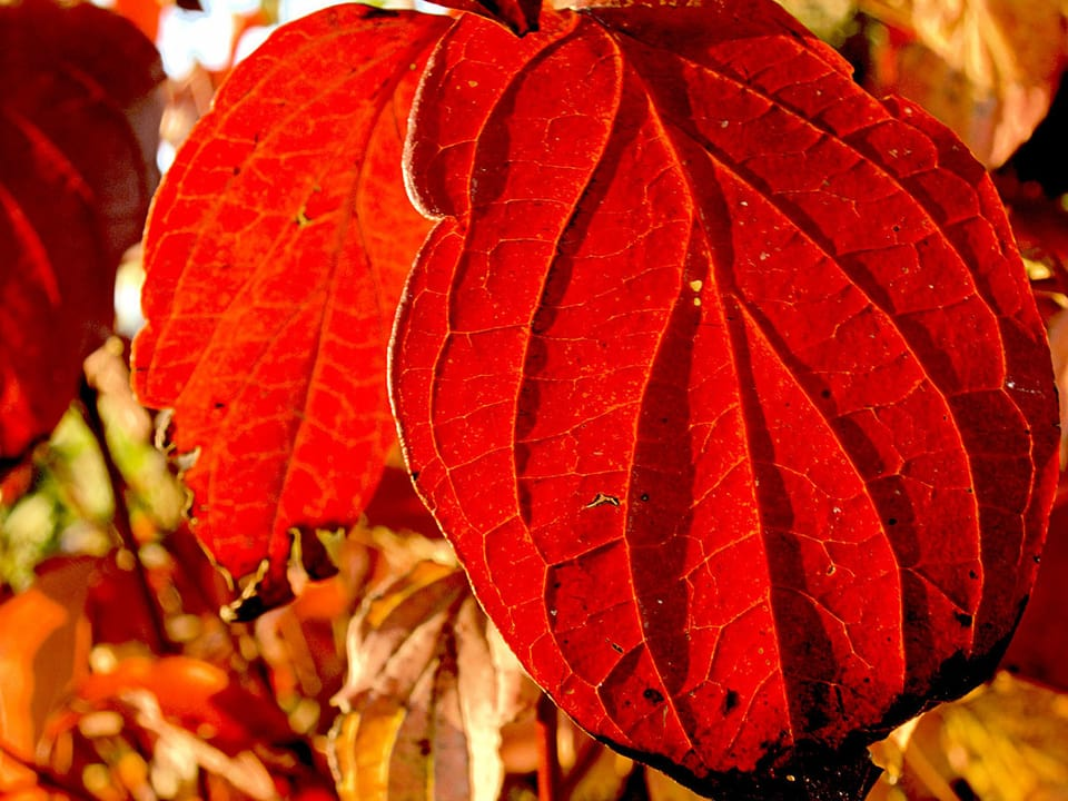 Rote Blätter des Hartriegels in Nahaufnahme.