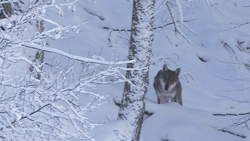 Wolf steht im Schnee und blickt in die Kamera