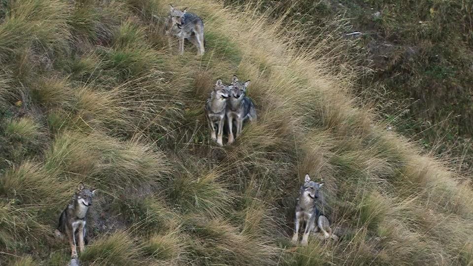 Fünf Jungwölfe sitzen im Grashang, zwei nahe beieinander, Familienszene