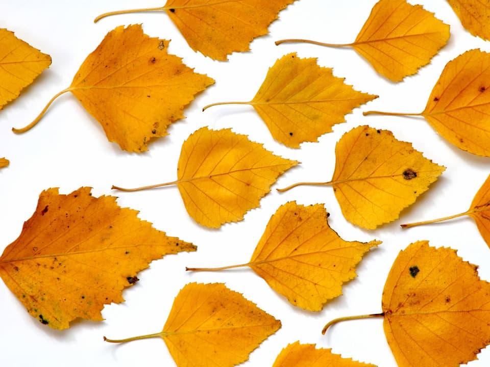 Blätter einer Birke auf einer weissen Unterlage.