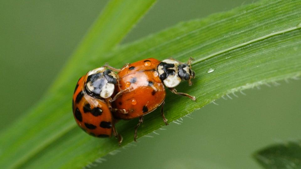 Asiatische Marienkäfer bei der Paarung