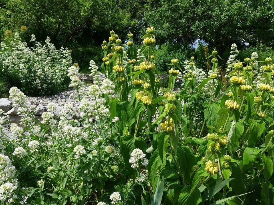 Gelbes Brandkraut und weisse Spornblumen in einem Garten.