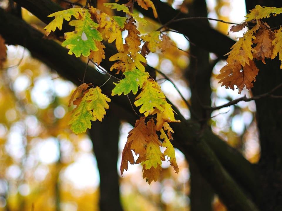 Eichenblätter am Baum.