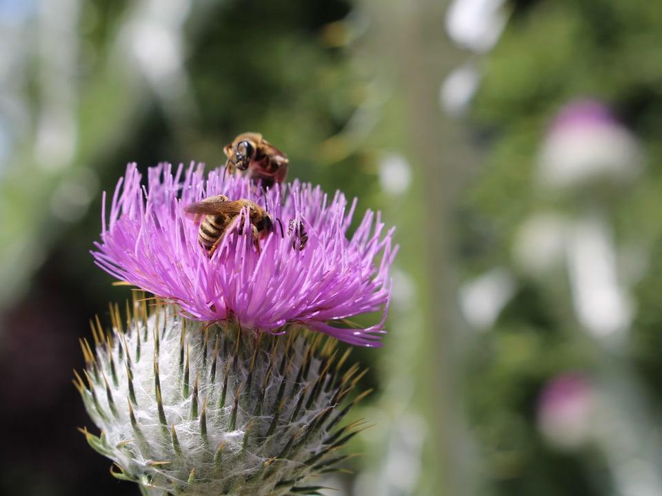 rosa Distel mit Bienen in der Blüte