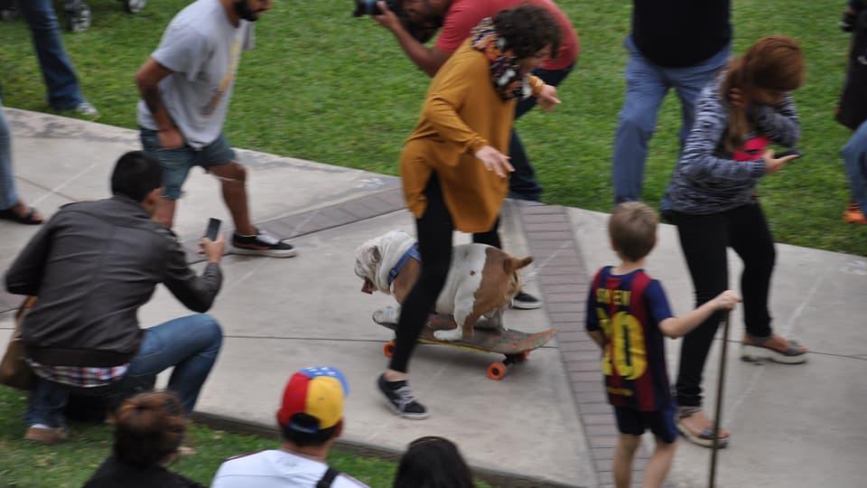 Bulldogge Otto fährt Skateboard im Park von Miraflores