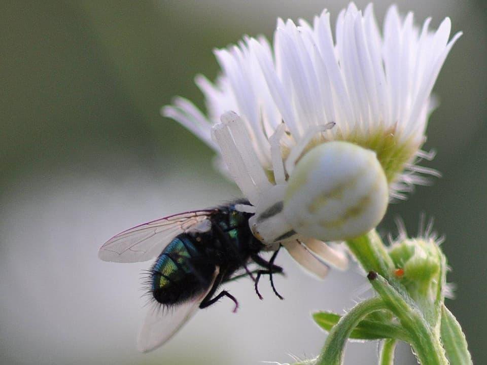 Tödliche Blumen: Die Krabbenspinne lauert gut getarnt den zahlreichen Blütenbesuchern auf. (Die Spinne hat eine Fliege gepackt)