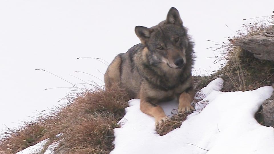 Wolf liegt vor Hügelkamm und blickt in die Kamera