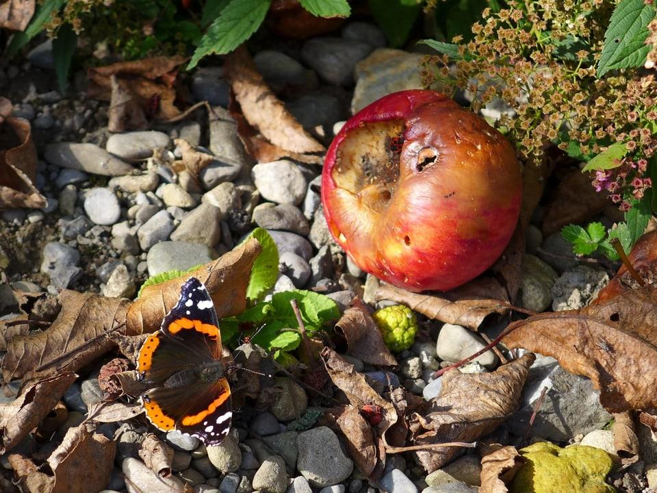 Ein Admiral (Schmetterling) sitzt im Laub neben einem angefaulten Apfel.