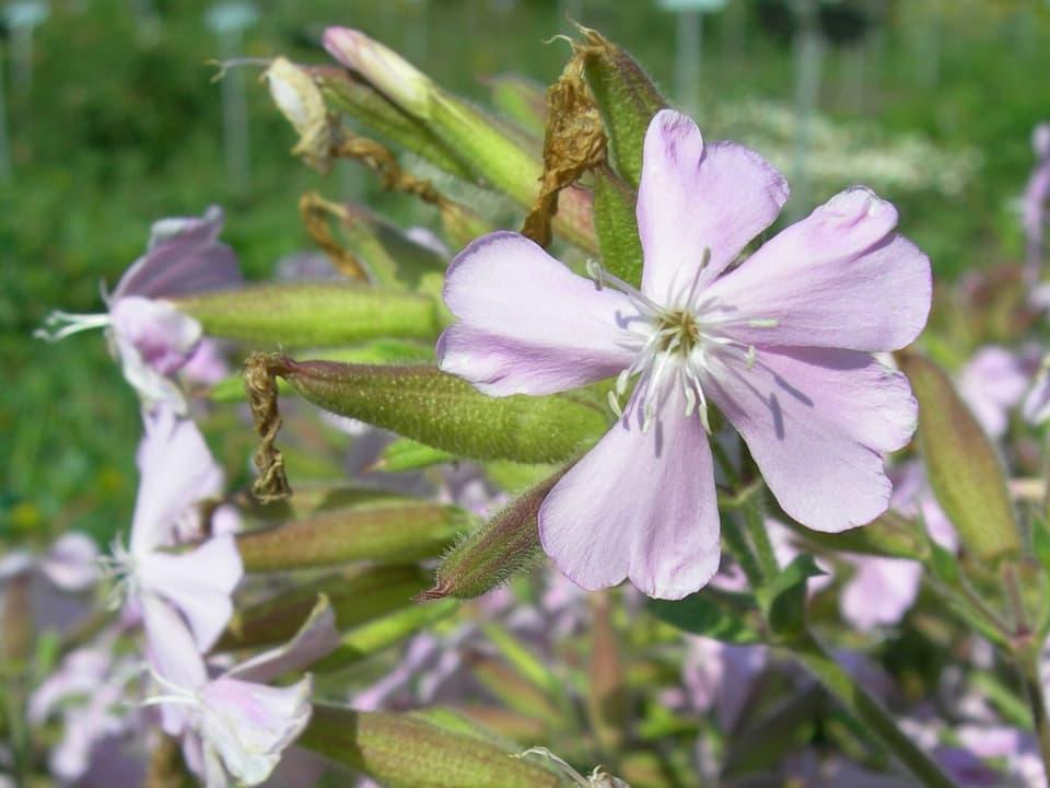 Zart lila Blüten des Seifenkrauts.