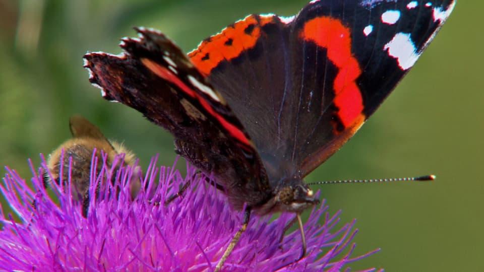 Ausgeflattert: Viele Schmetterlinge sind in landwirtschaftlich intensiv genutzten Gebieten kaum mehr zu sehen (Admiralsschmetterling an Blüte)