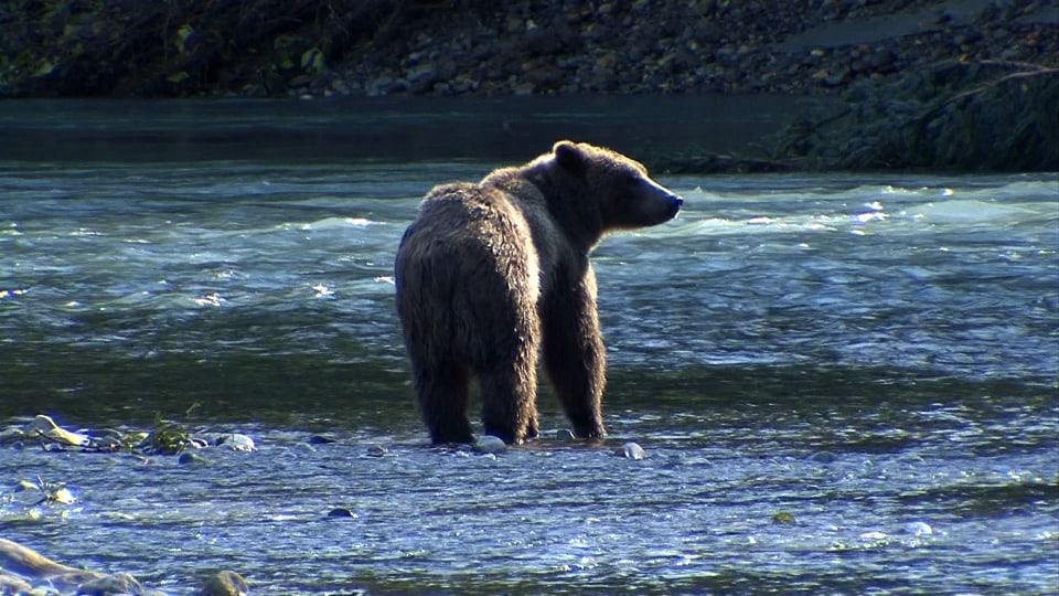 Das grosse Fressen: Der Bär hält Ausschau nach den Lachsen. (Ein Bär steht im Fluss)
