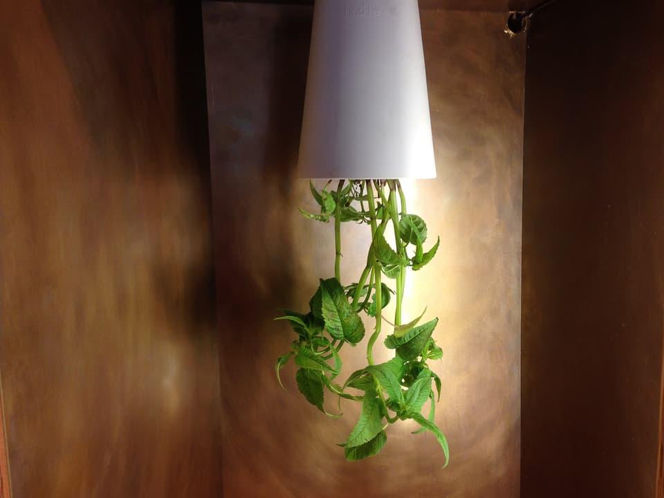 Pflanze hängt aus einer Lampe.