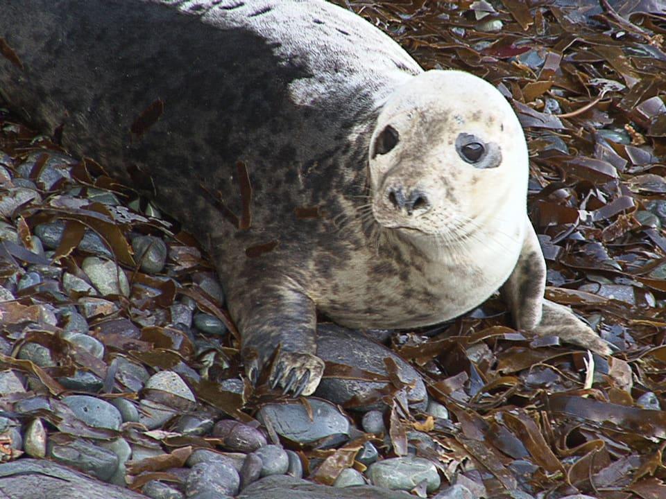 Unschuldsblick: Robben wecken Emotionen während Fischer sie gar nicht schätzen. (Robbe an Land)