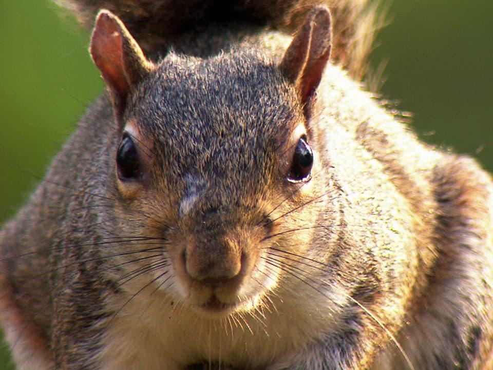 Gehasster Ami: Als Konkurrent und Träger eines Virus verdrängt das Amerikanische Grauhörnchen in England das einheimische Eichhörnchen aus seinem Lebensraum. (Grauhörnchen schaut frontal)
