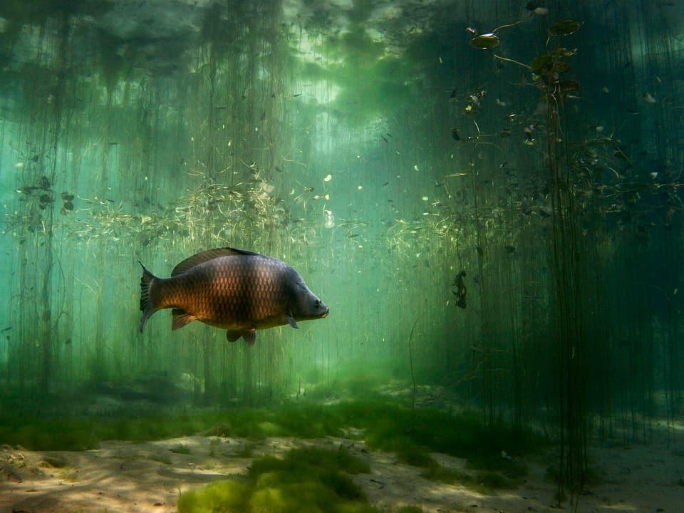 Ein Fisch schwimmt seitlich im verwachsenen Fluss.