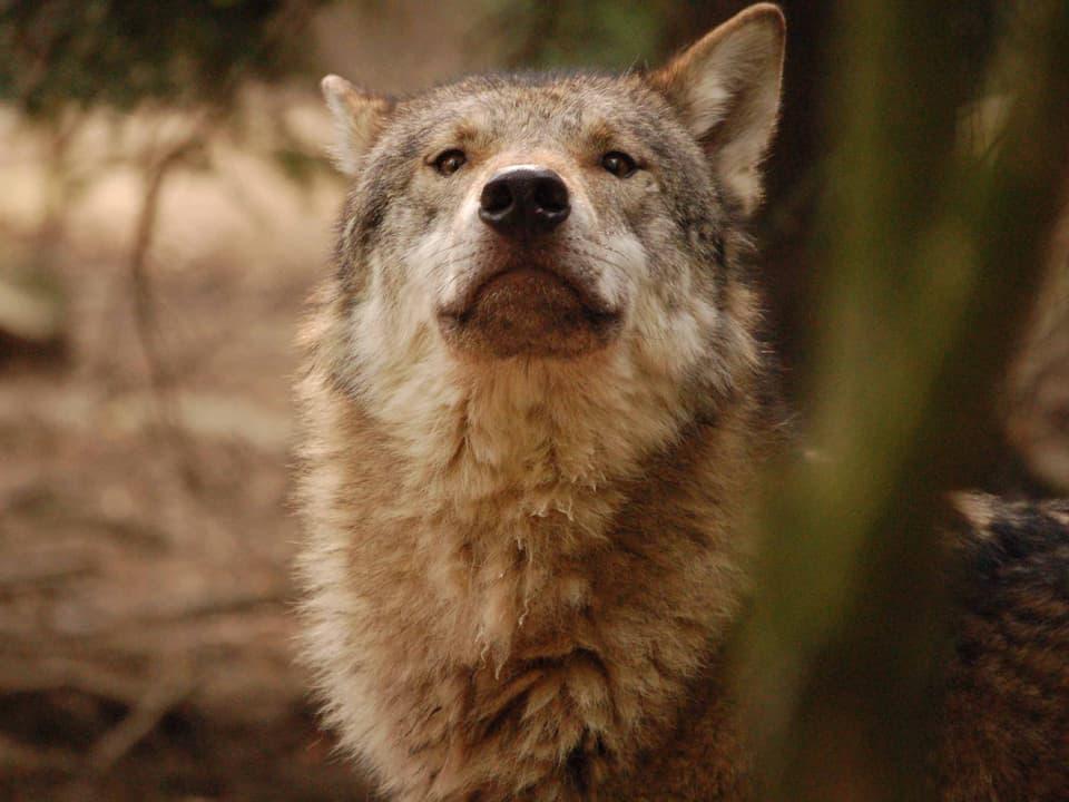 Frei zum Abschuss: Hat der Wolf im Wallis eine Chance?