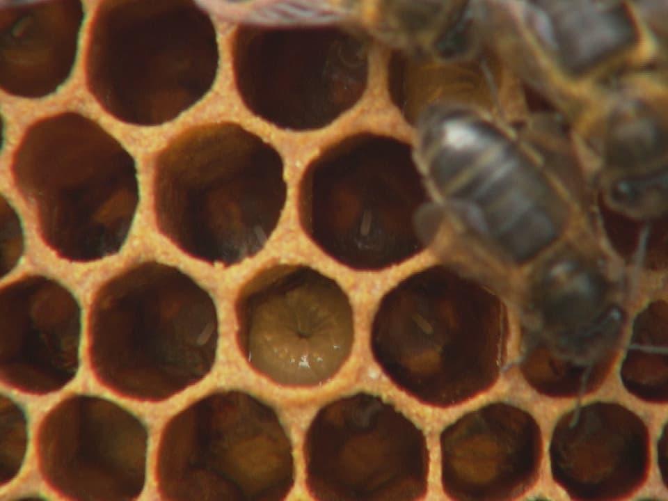 Bienen auf einer Wabe, in der eine Larve steckt.