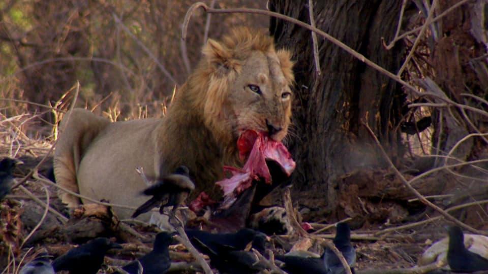Löwe frisst Beute