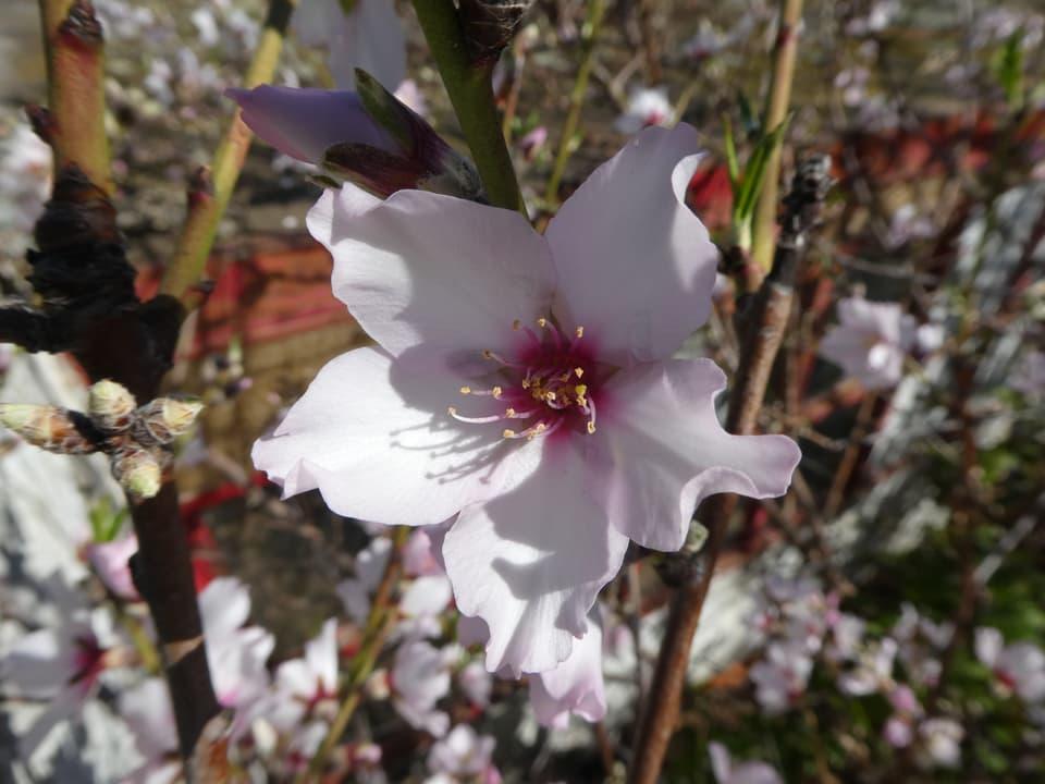 Offene Mandelblüte.