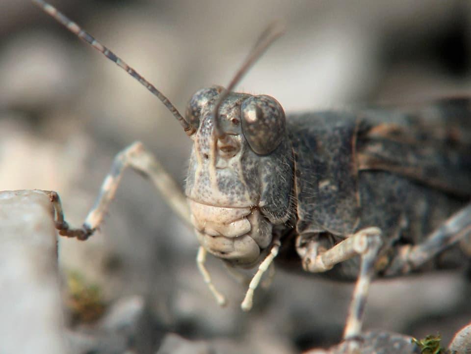 Alien unter uns: In der Natur findet man die Sandschrecke auf Kiesflächen von Flussauen. In Zürich auf dem Schotterbett der Geleise beim Hauptbahnhof (Grossaufnahme von Sandschrecke)