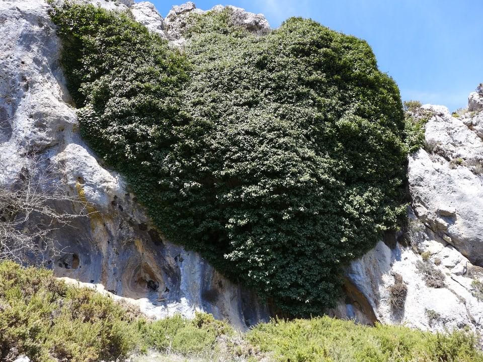 grosse Steinwand bedeckt von einem grossen Efeu