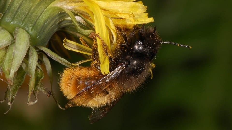 Wo Wildbienen helfen – und wo nicht