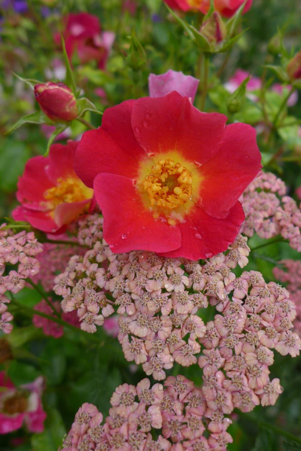 rot-gelbe Blüte mit rosarotem Kraut