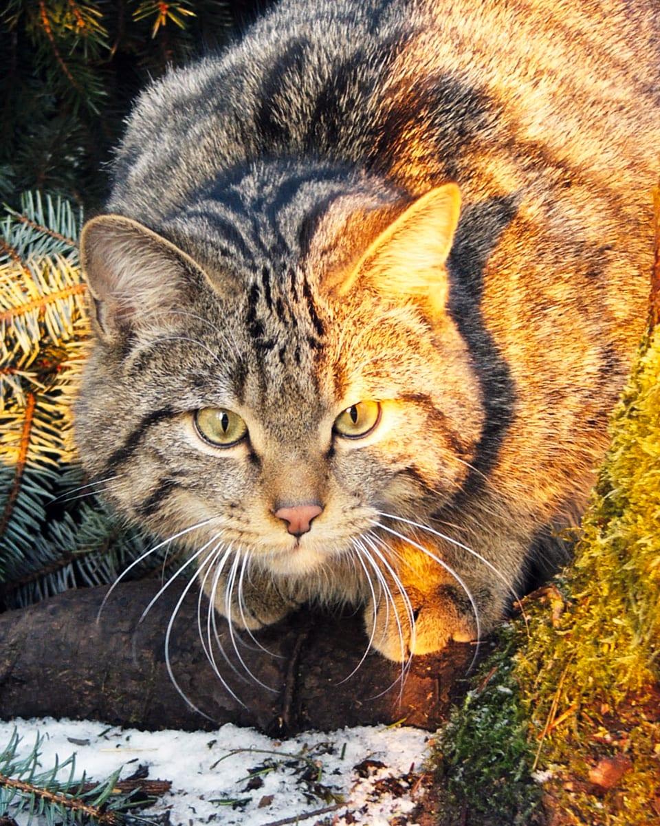 Maus in Sicht: Dass Wildkatzen Hasen und Rehe jagen, ist altes Jägerlatein. Sie frisst fast ausschliesslich Mäuse. (Wildkatze von Sonnenstrahl beleuchtet)