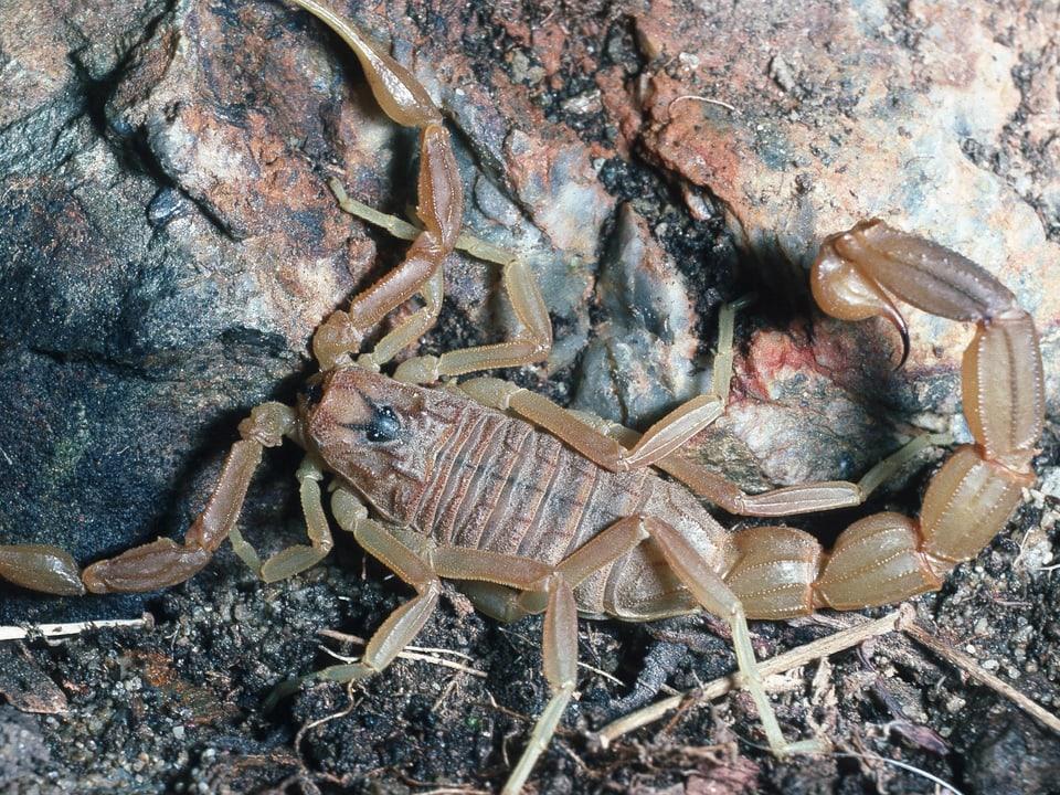Bedrohlich wirkender Skorpion auf felsigem Untergrund