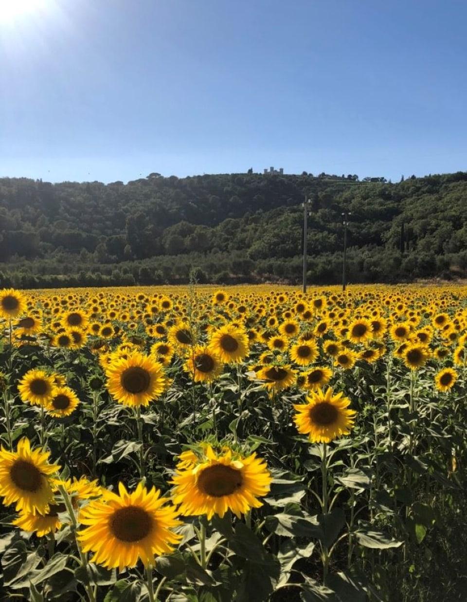 Flurs-sulegl en Toscana